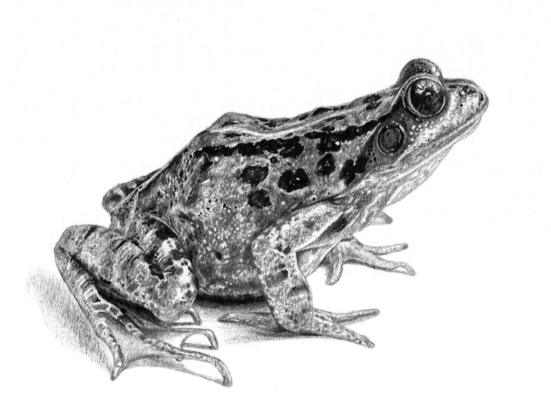 Animal Drawings - emilywallis.com