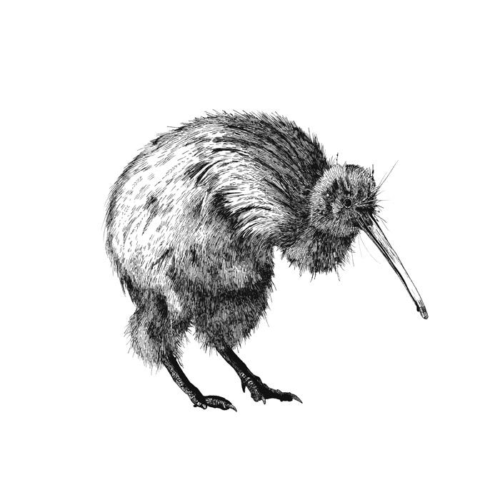 Line Drawing Kiwi : Animal drawings emilywallis