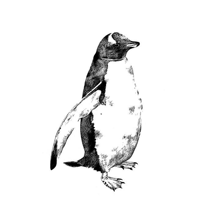 Line Drawing Penguin : Animal drawings emilywallis