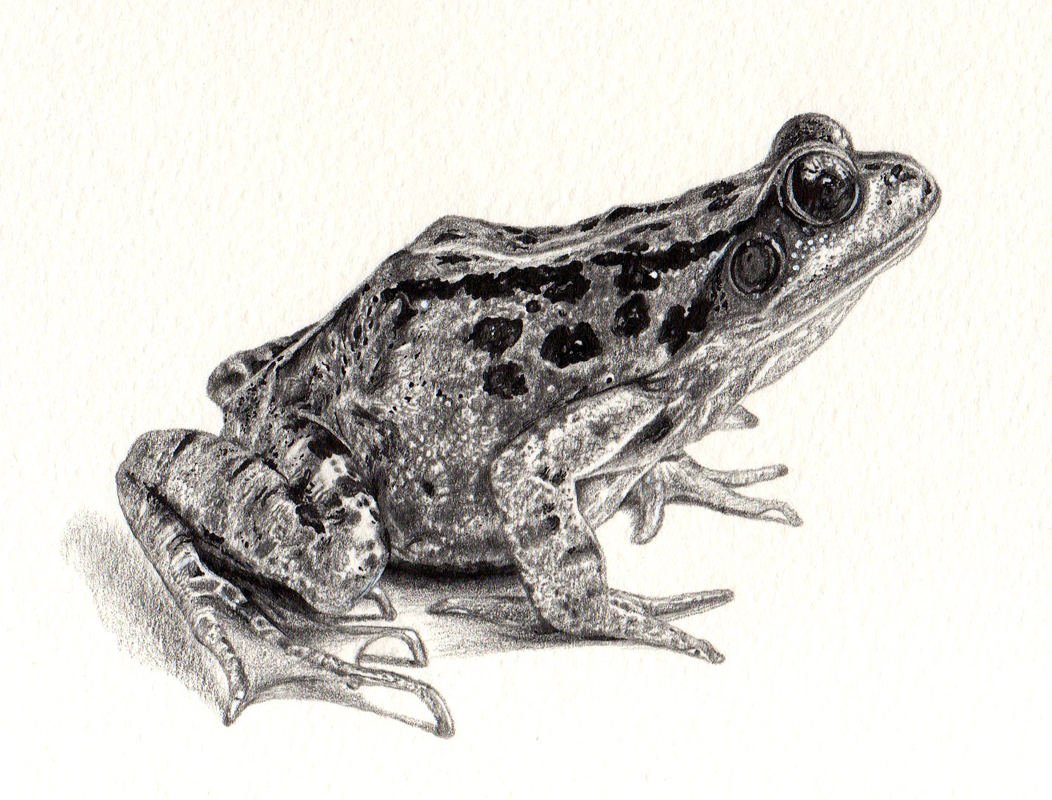 Frog Drawing A frog dr...