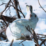 Arctic Hare Christmas Card illustrations