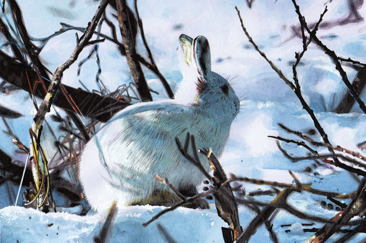 Illustration of an Arctic Hare in the snow by Emily Wallis