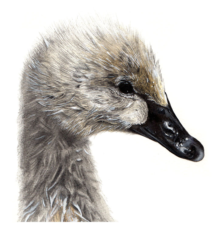 Cygnet illustration