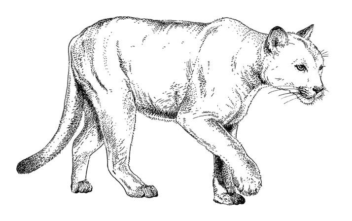 Florida Panther for atlanta magazine by emily wallis
