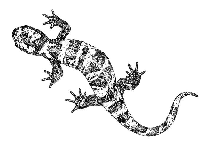 Marbled salamander for atlanta magazine by emily wallis